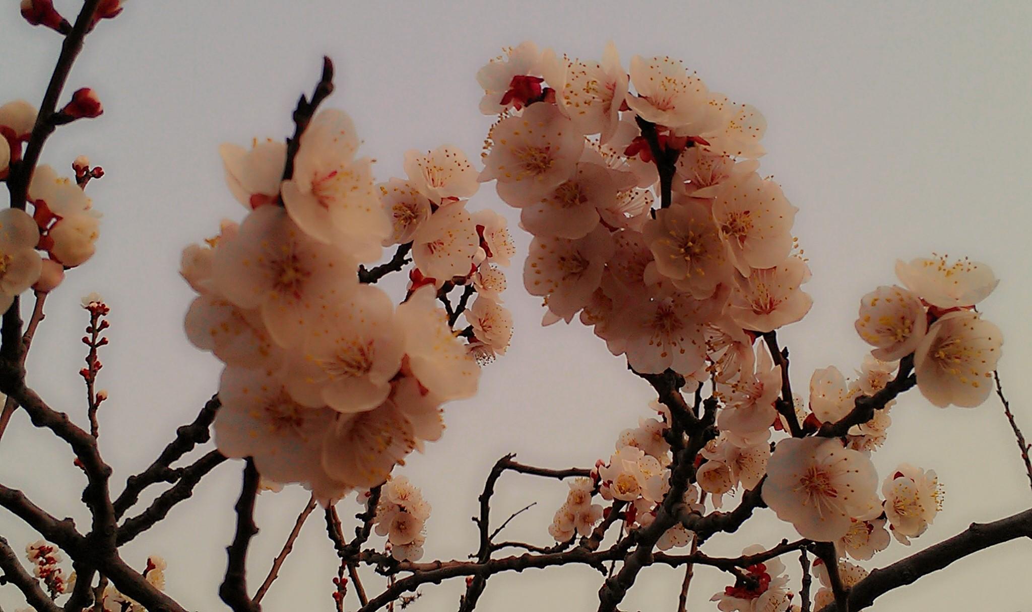 ps杏花图片素材
