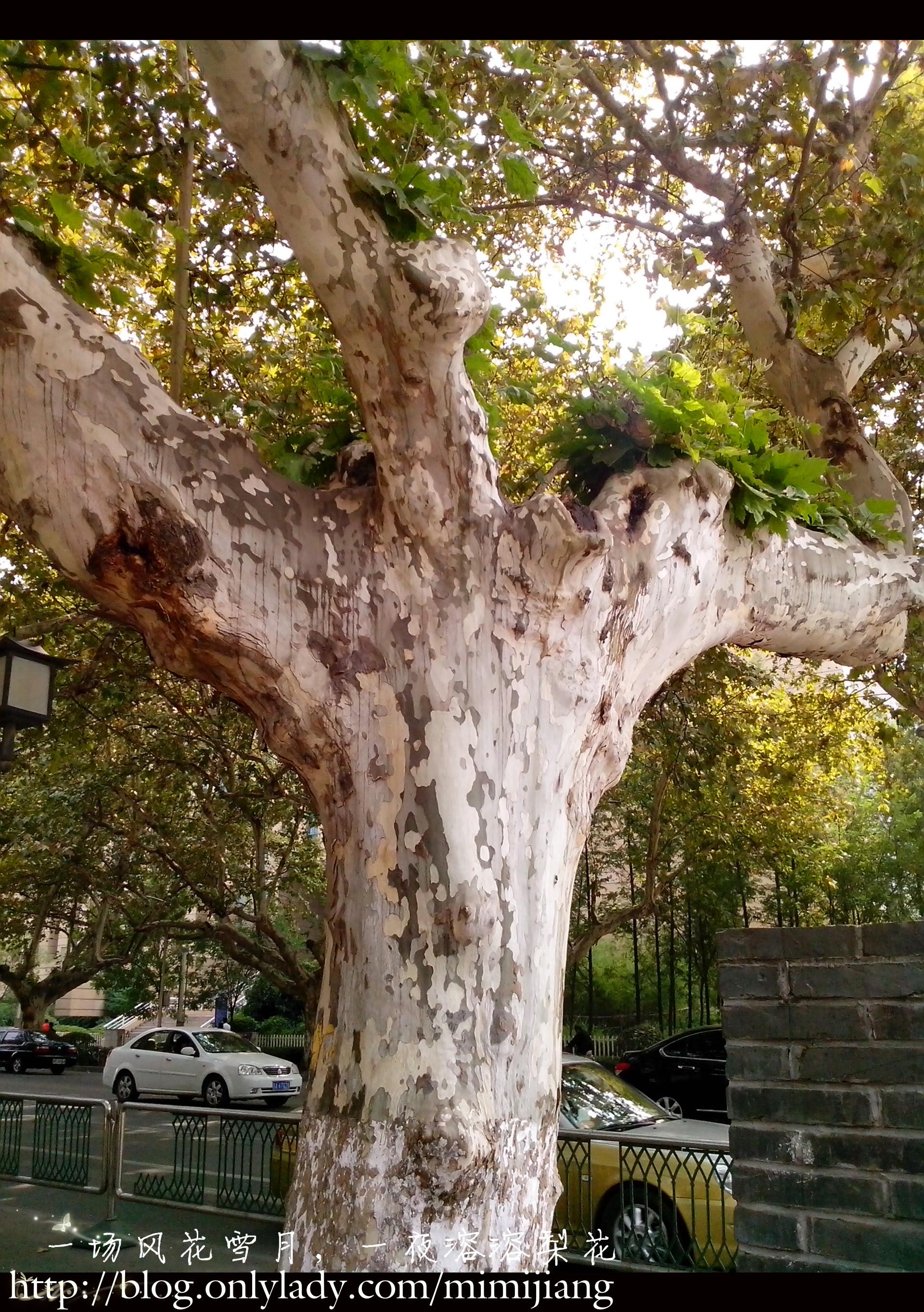 南京路上有很多梧桐树,很遮阳的说