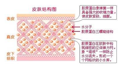 真皮皮肤结构图