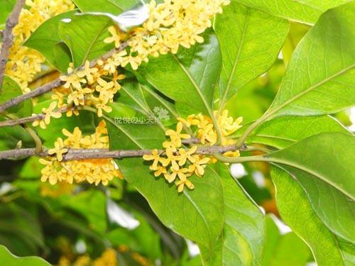 指出其开花的基本规律:即每年农历八月十五日月圆时,桂花盛开,半个月