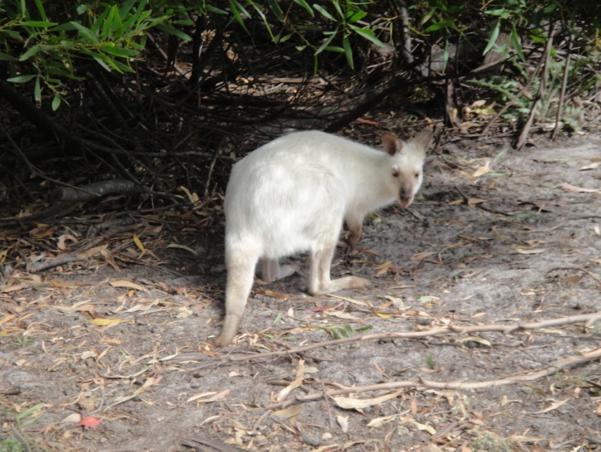 澳洲动物园喂袋鼠 无水印图片
