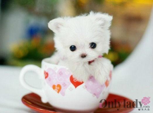 最萌茶杯狗 茶杯狗的照片.还行吧.茶杯犬是正常品种吗?